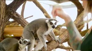 El zoo de Viena tiene dos nuevos inquilinos&#x3B; unos mimosos gemelos de lemur