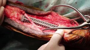 Clínicaimplanta prótesis de titanio a animales
