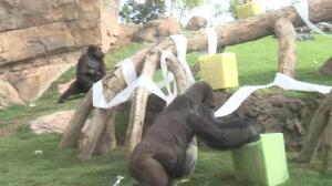 Bioparc Valencia celebra el primer cumpleaños de la Gorila Virunga-. Firma: EPL/FAFB .-