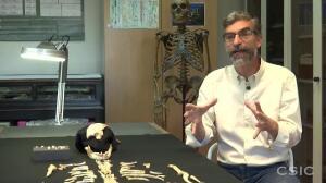 El cerebro de los neandertales crecía durante más tiempo