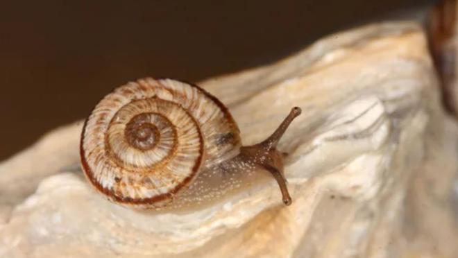 Este tipo de caracol es una especie exótica cuya expansión pone en peligro tanto a la flora como a la fauna del país